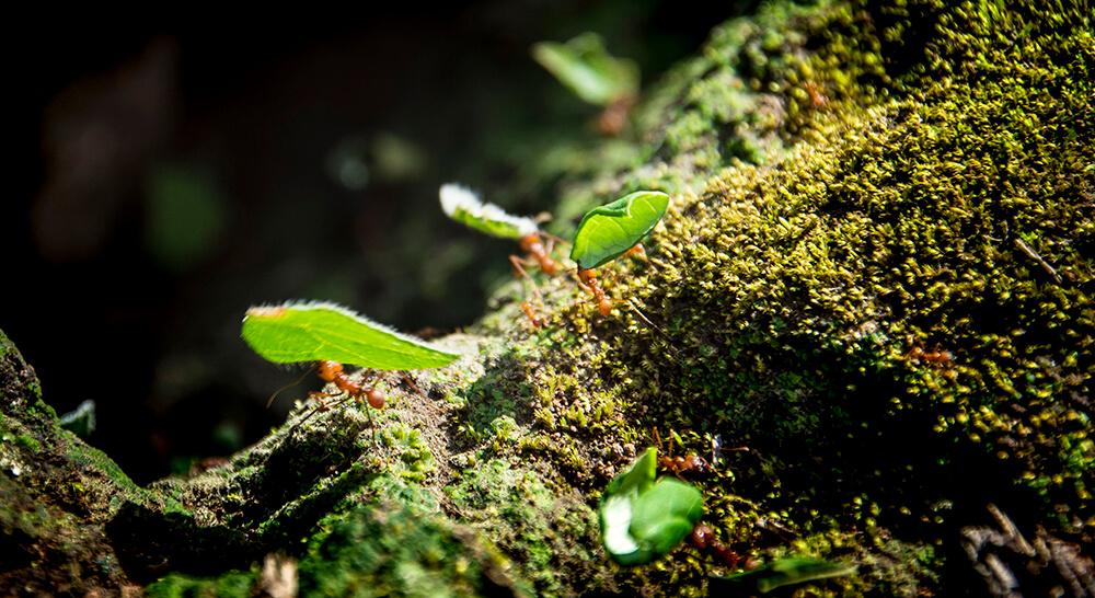 Blattschneider Ameisen tragen zerschnitte Blätter