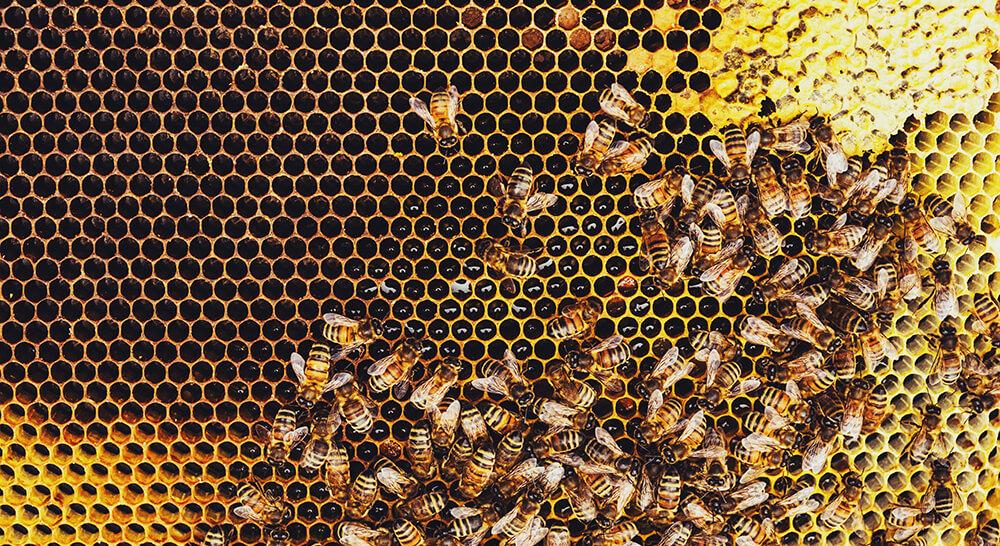 Honigbienen auf Honigwabe